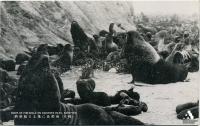 Лежбище котиков на острове Тюлений