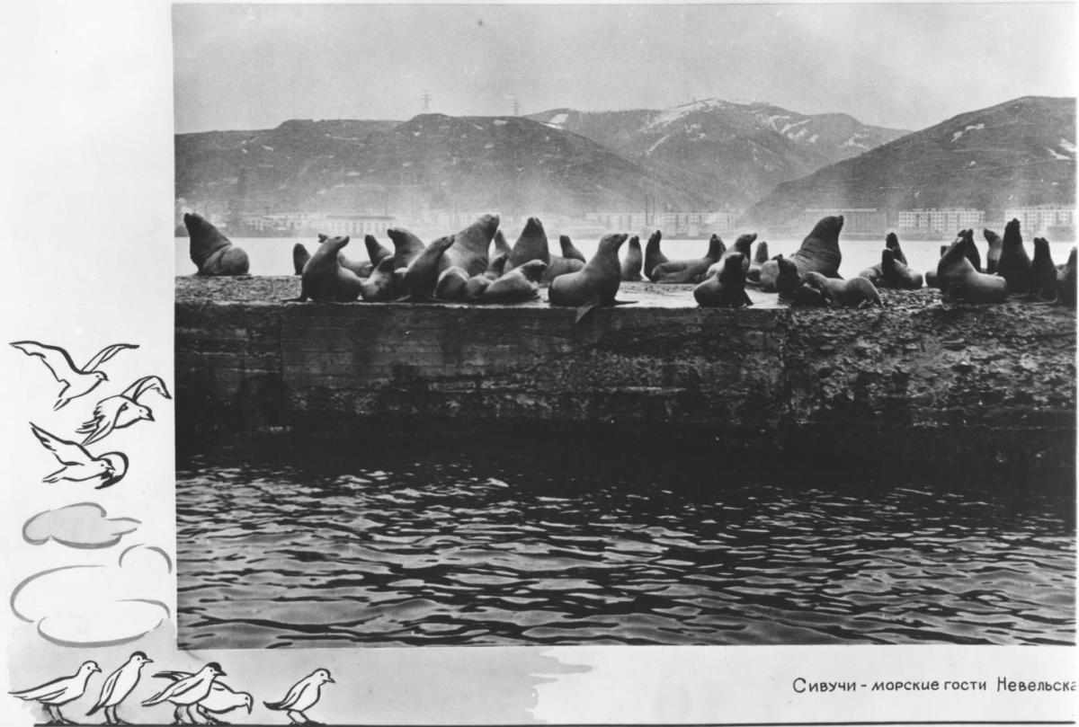 Сивучи - морские гости Невельска
